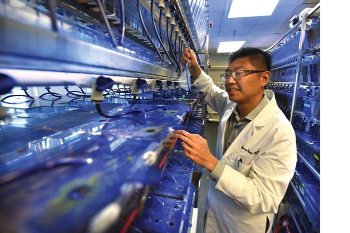 Dr. Yong Teng uses zebrafish in his cancer research. Photo by Phil Jones.